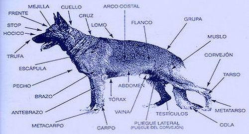 Morfología Y Estructura General Del Perro Adiestrador Canino