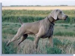 Razas Grandes Y Gigantes Adiestrador Canino