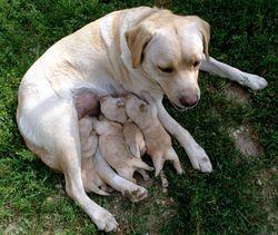 ciclo sexual y gestación en perros