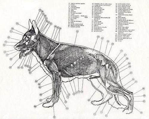 Morfología y Estructura General del perro | Adiestrador canino