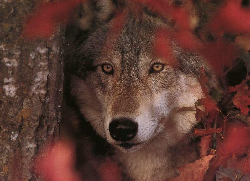 Galería de fotos. El lobo, ancestro del perro