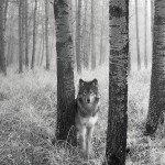 Lobo21