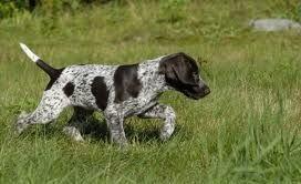 cachorro-muestra