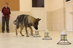 perros dectectores de enfermedades1